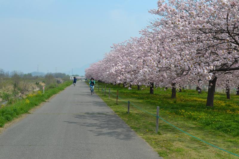 小布施サイクリングロードの桜