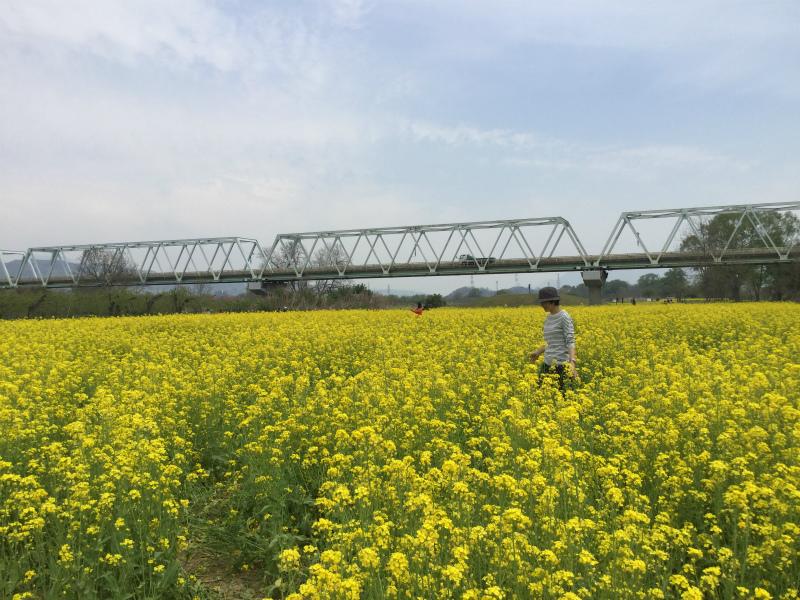 小布施橋下の菜の花畑