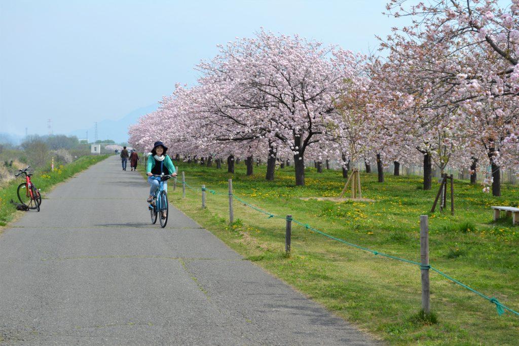 小布施桜サイクリング