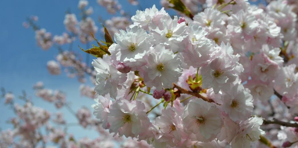 小布施堤防の八重桜
