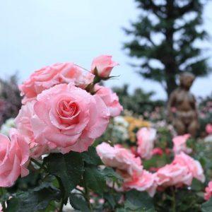 一本木公園バラ