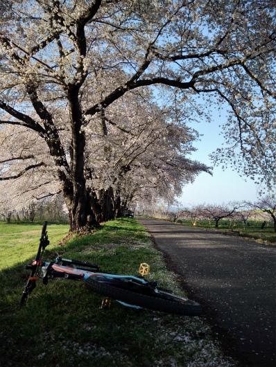 須坂相之島桜