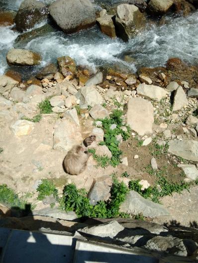 河原にもサル