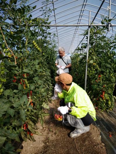 トマトハウス内で収穫体験