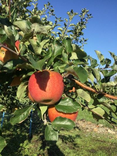 須坂のリンゴ