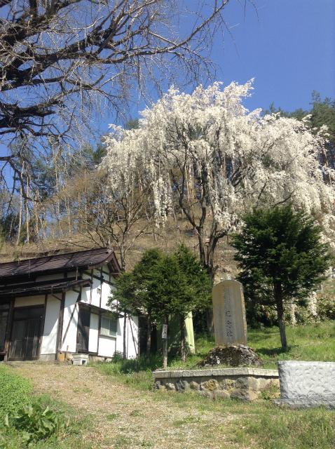 須坂豊丘洞入観音堂の桜