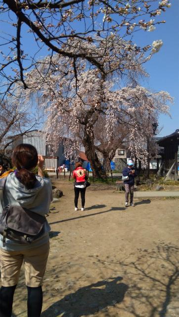 臥竜公園の桜