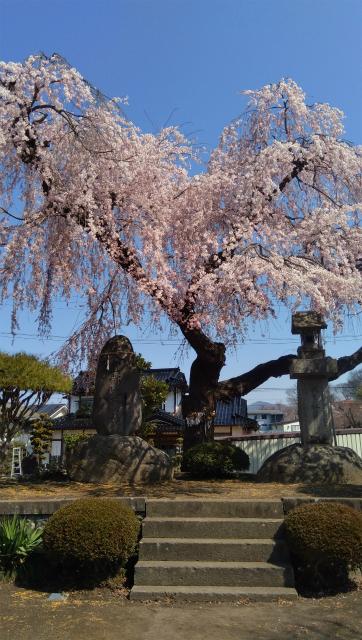 須坂臥竜公園秋葉社の桜