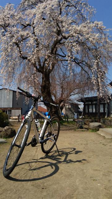 臥竜公園の桜とクロスバイク