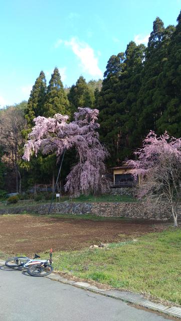 須坂大日向の夫婦桜