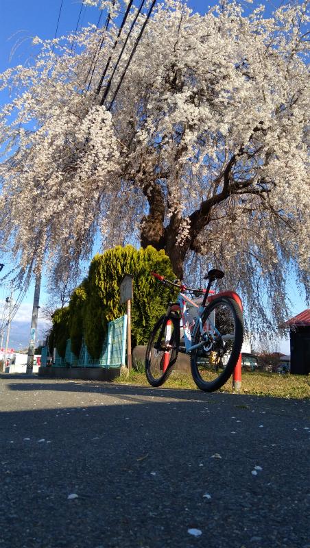 須坂屋部町枝垂れ桜