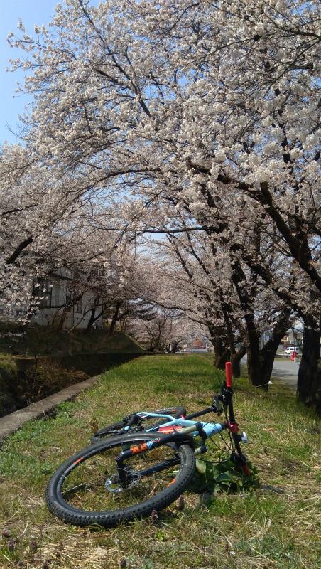 須坂温泉の桜