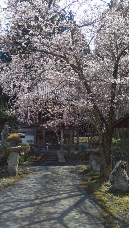 須坂蓮生寺の桜