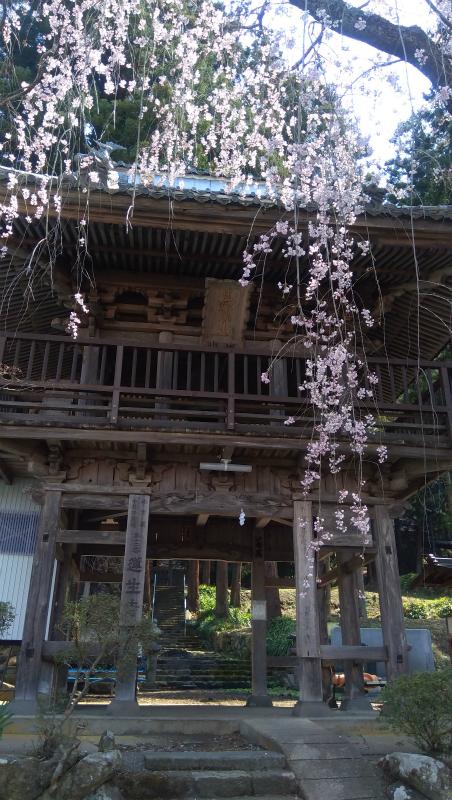 蓮生寺の桜