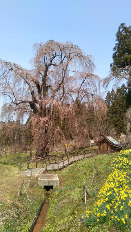 水中の枝垂れ桜