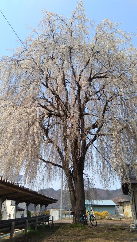 高山村十王堂の枝垂れ桜
