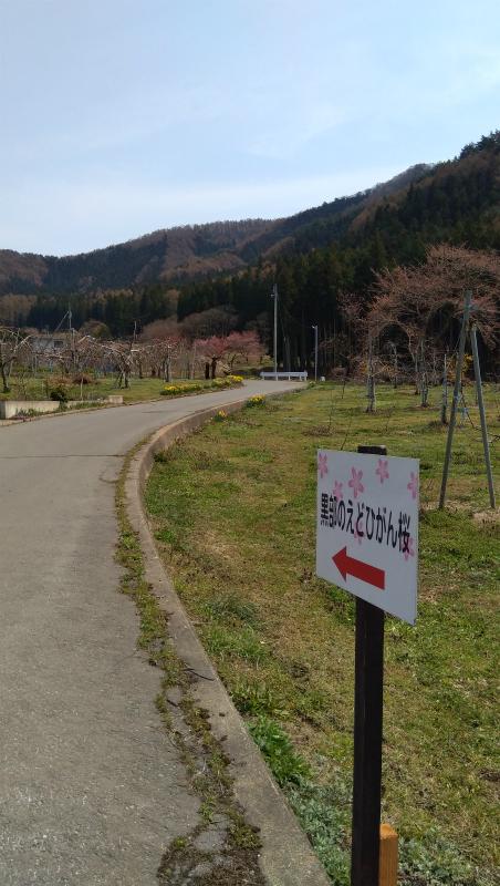 高山村黒部のエドヒガン桜看板