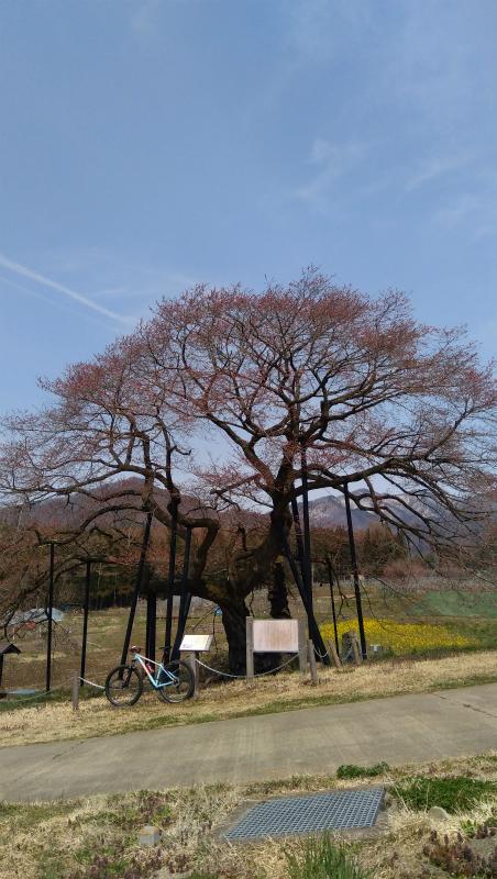 高山村黒部のエドヒガン桜