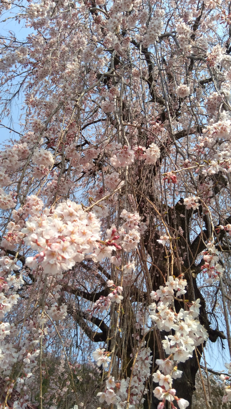 高山村中塩の枝垂れ桜