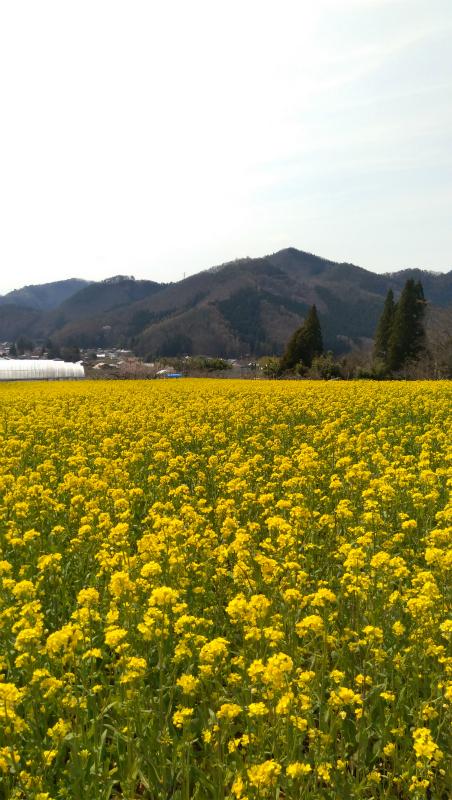 高山村菜の花畑
