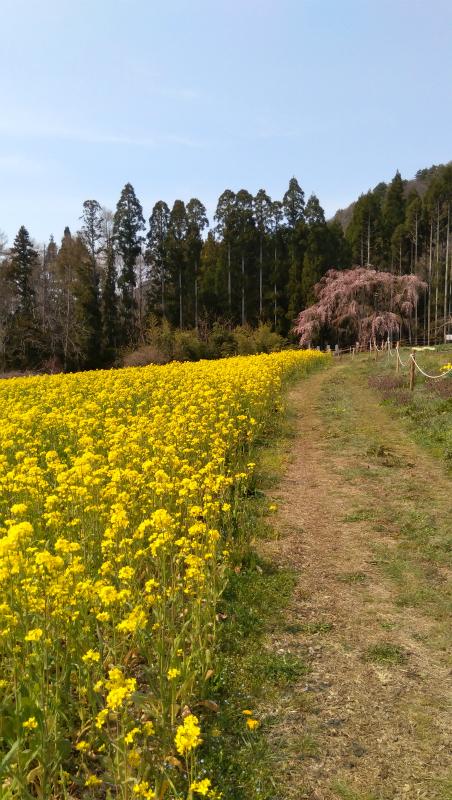 坪井の枝垂れ桜と菜の花