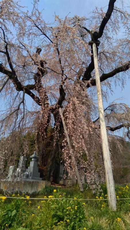 横道の枝垂れ桜