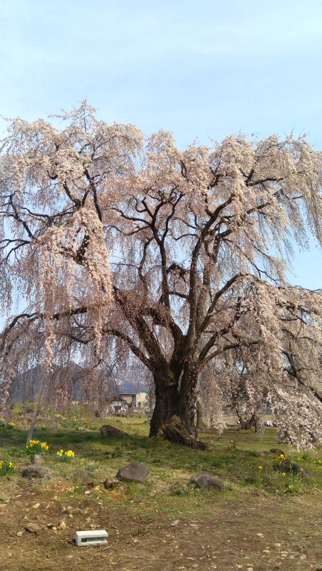 高山村和美の桜