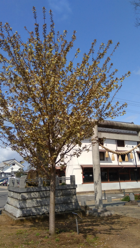 奥田神社ウコンザクラ