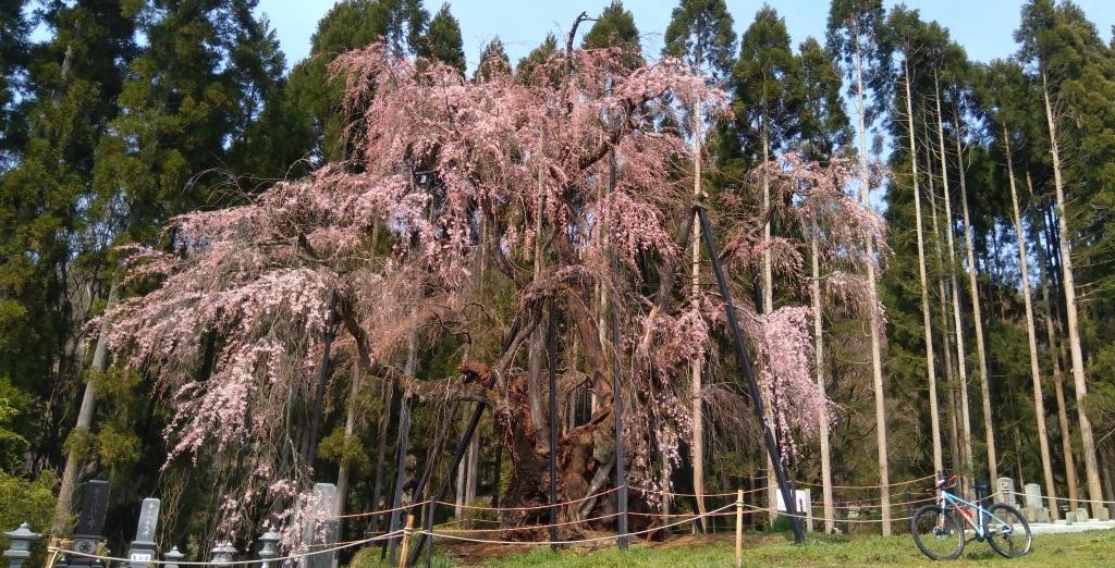 高山村五大桜めぐりサイクリング