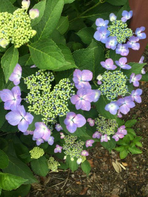 岩松院紫陽花