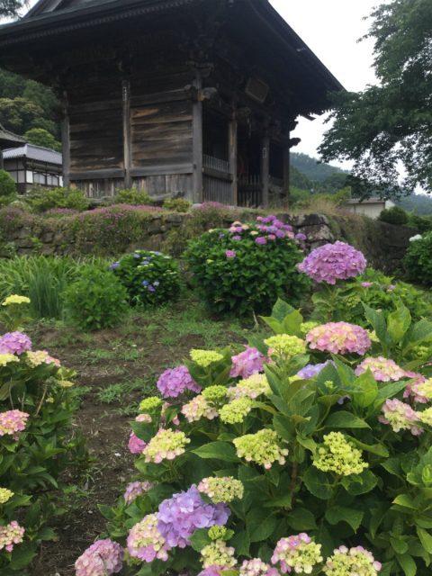岩松院山門と紫陽花