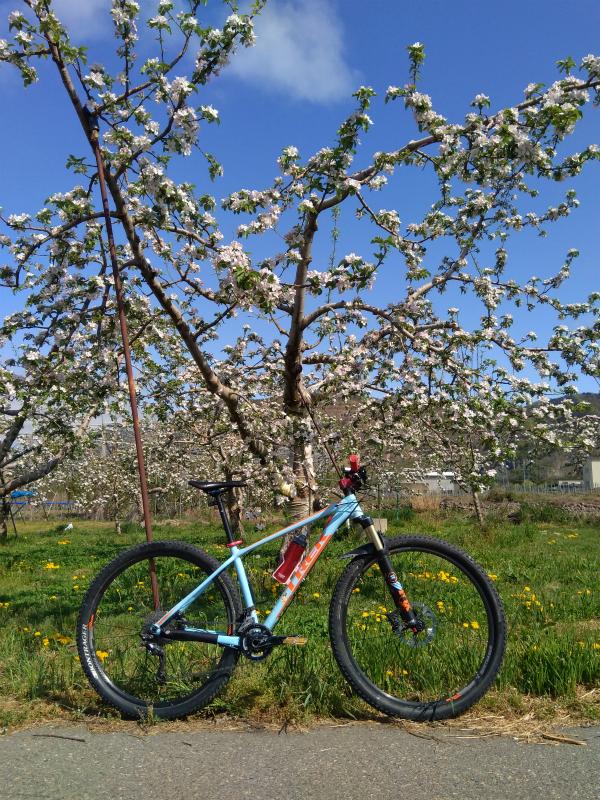 リンゴの花と自転車
