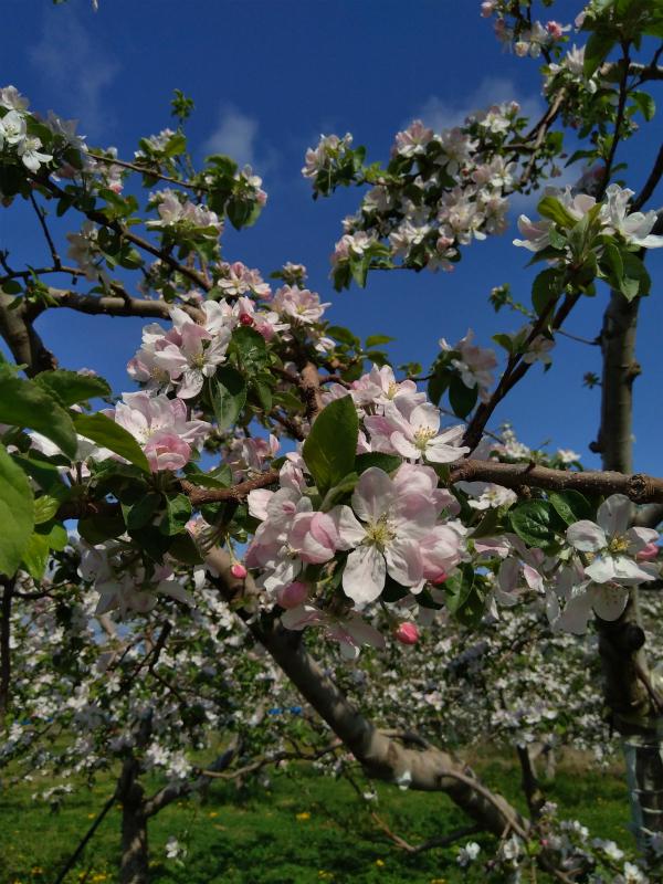 りんごの花 薄いピンク