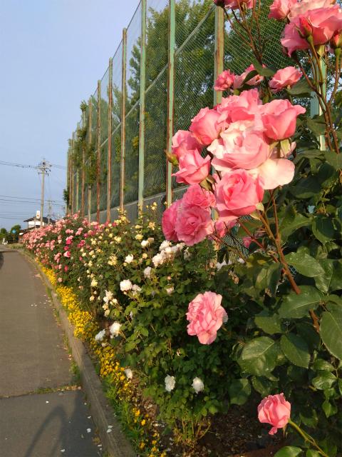 中野西高校前のバラ