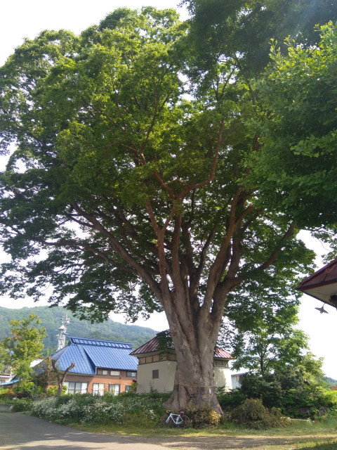 飯山加保土神社巨木