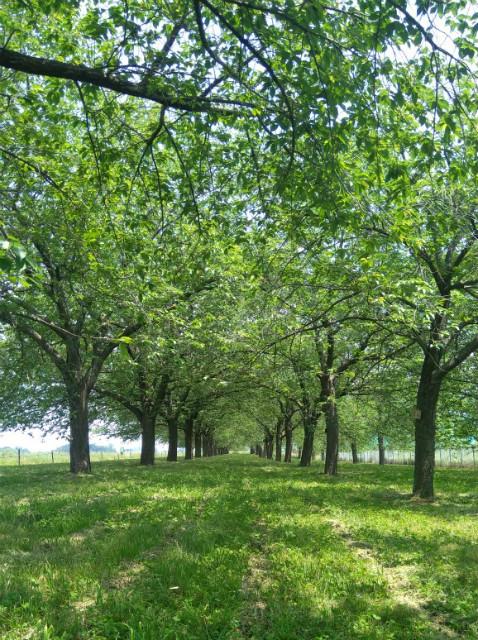 小布施緑の桜提