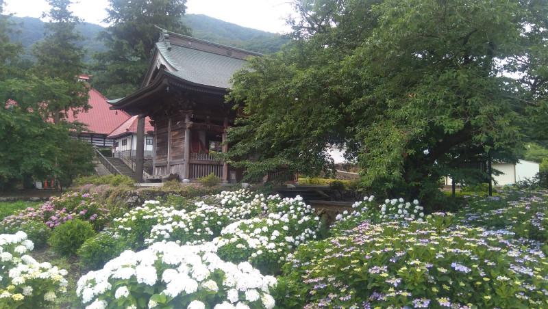 岩松院の紫陽花