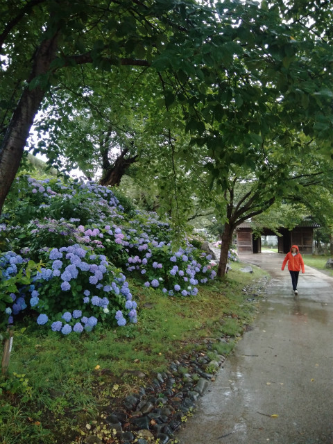 飯山城の紫陽花は多種類