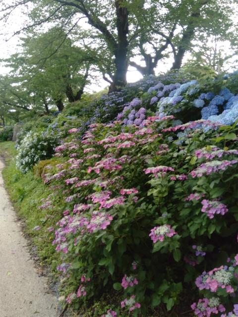 飯山城の紫陽花