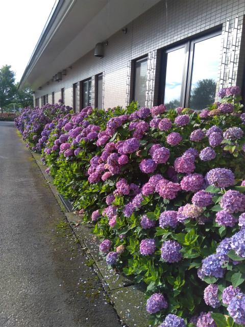 アクアパーク飯山の紫陽花 建物脇