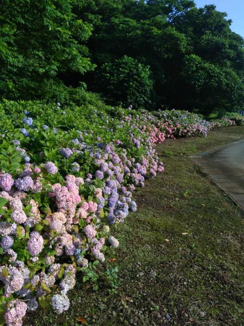 アクアパーク飯山の紫陽花 山側