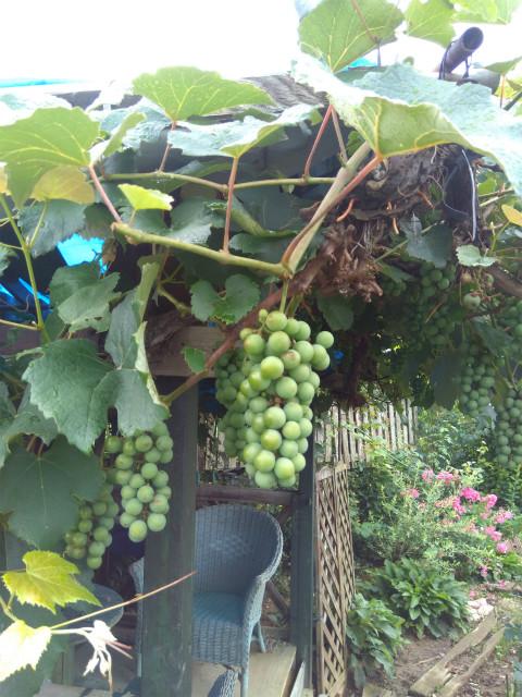 小布施オープンガーデンのブドウ