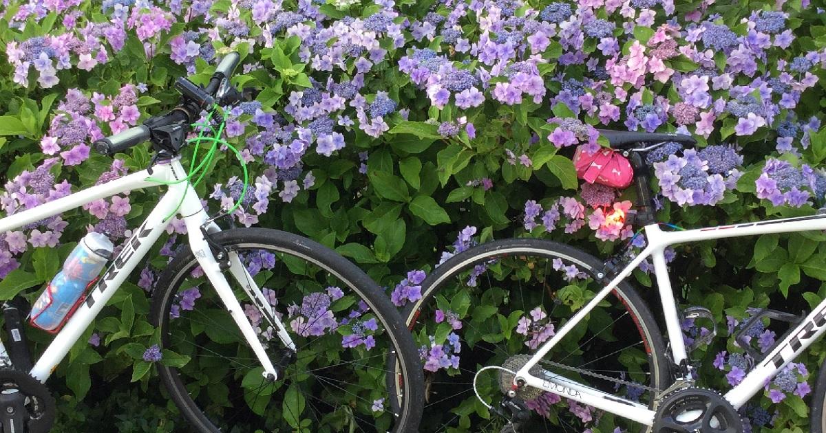 高山村の紫陽花