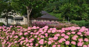 アクアパーク飯山の紫陽花