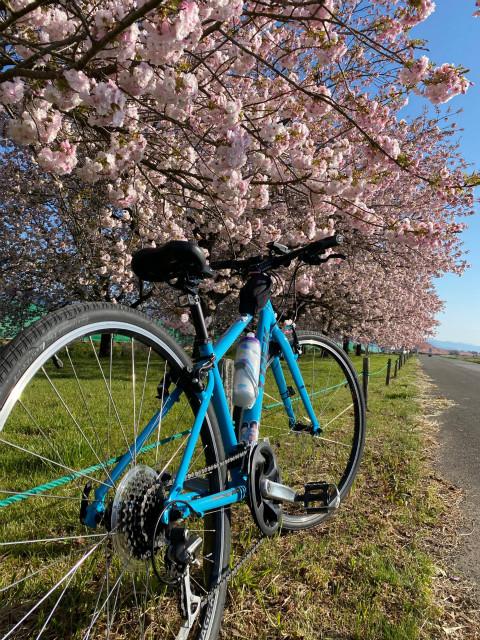 小布施千曲川堤防の八重桜