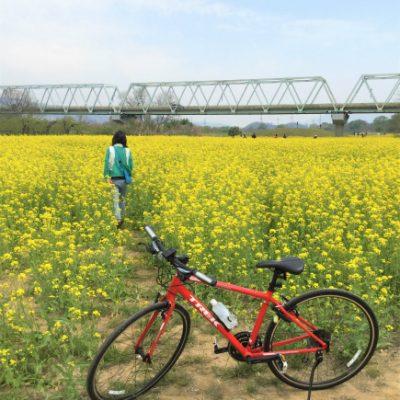 小布施千曲川サイクリングロード菜の花