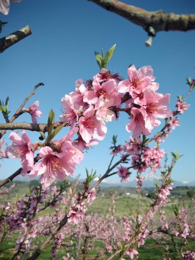 丹霞郷ライド桃の花
