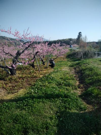 丹霞郷ライド桃の花を撮る