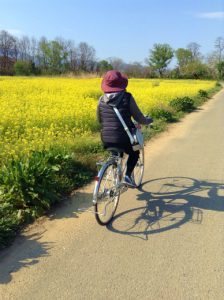 小布施千曲川堤防サイクリングロード小布施橋付近菜の花