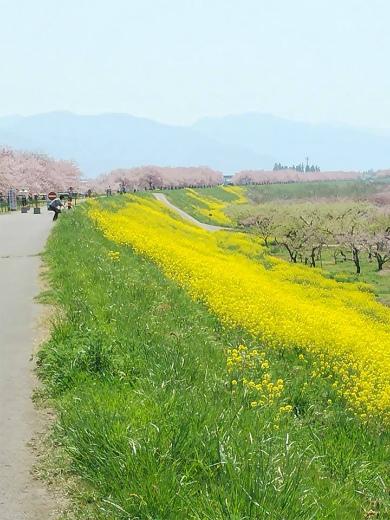 千曲川サイクリングロード小布施桜づつみ 中野インター近く